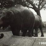 井の頭自然文化園、ゾウのはな子69歳で死亡。野毛山動物園、はま子は59歳で死亡。